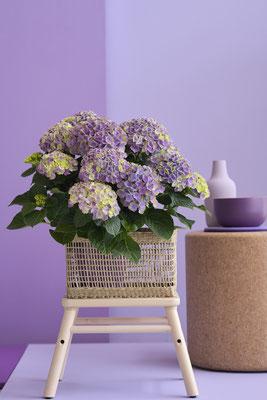 ©Magical Hydrangea, hortensia d'intérieur, Magical Amethyst Bleu