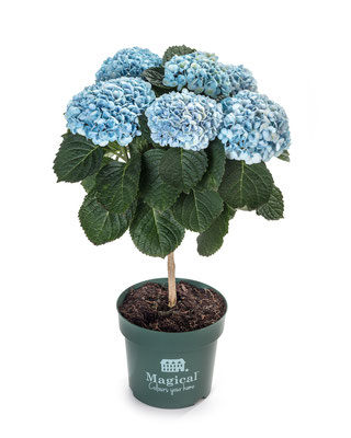 ©Magical Flower Tree bleu en pot
