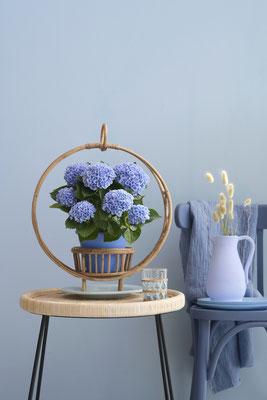 ©Magical Hydrangea, hortensia d'intérieur, Magical Revolution Bleu