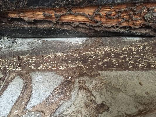 ©Sentri tech, galeries empruntées par les termites