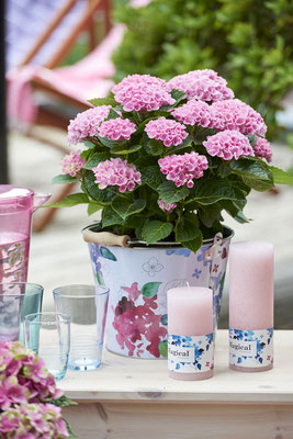 ©Magical Four Seasons, hortensia Revolution rose avec goodies