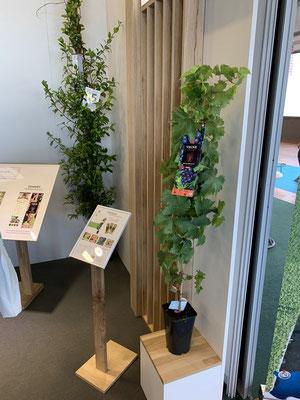 ©Archi'Tendances - Salon du végétal 2019 - Stand Javoy Plantes - Vigne ancienne