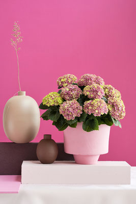 ©Magical Hydrangea, hortensia d'intérieur, Magical Amethyst Rose