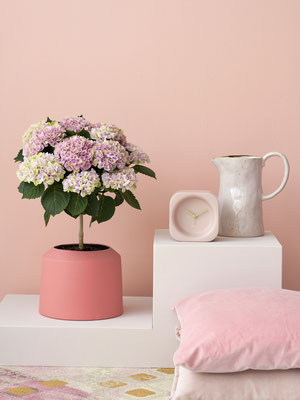 ©Magical Hydrangea, hortensia d'intérieur, Magical Flowertree Revolution Rose