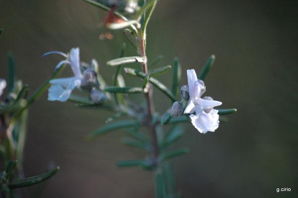 Romarin en fleur (le Printemps arrive)