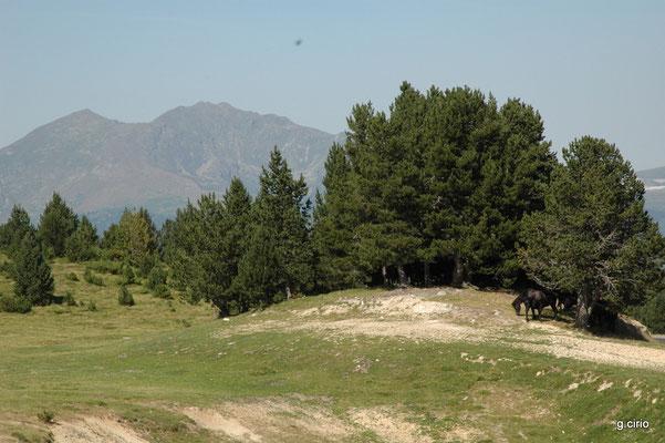 Troupeau de chevaux sauvages sur le plateau de Beille