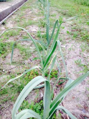 11月に収穫予定のポロ葱