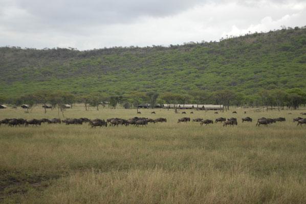 Gnoes, met in de achtergrond het Katikati tentenkamp waar we verbleven.
