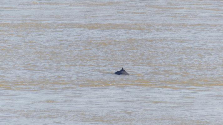 Les dauphins d'eau douce