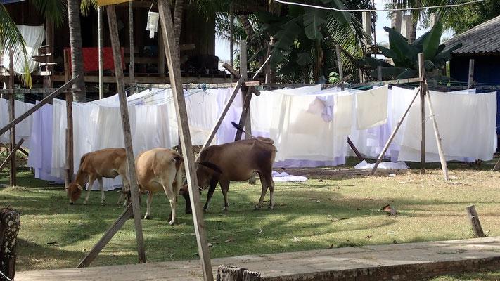 des petites vaches trop mignonnes... parmi le linge qui sèche