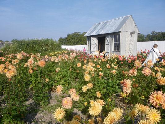 210 variétés de Dahlias à La Bourdaisière