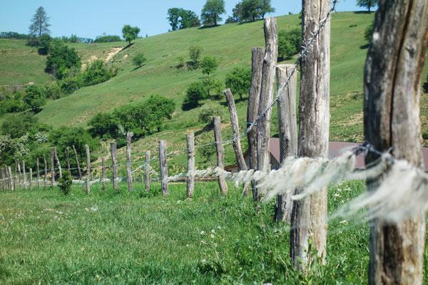 Schafswolle am Stacheldrahtzaun.