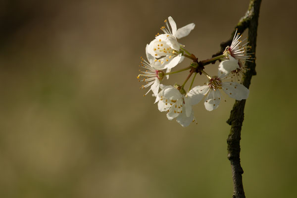 Apfelblüte. Heiko Friedel