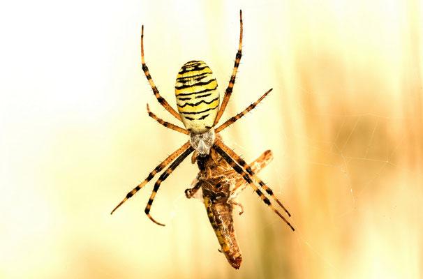 Wespenspinne mit großer Beute - Ralf Ehben