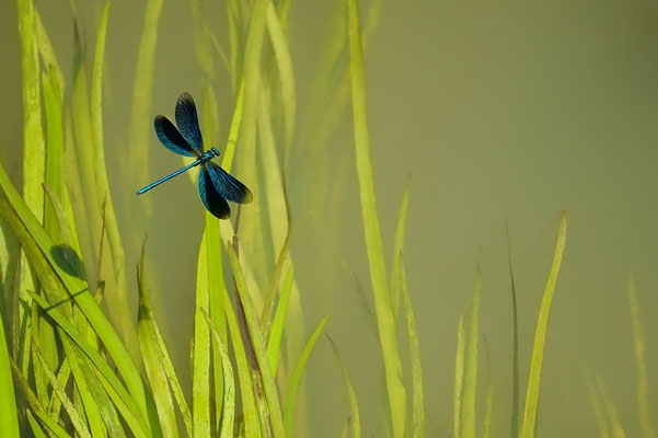Blauflügelige Prachtlibelle - Michael Joost