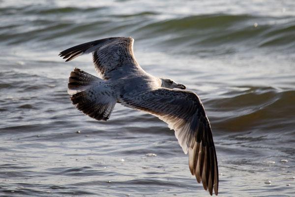 Gleitflug über den Wellen - Heiko Friedel