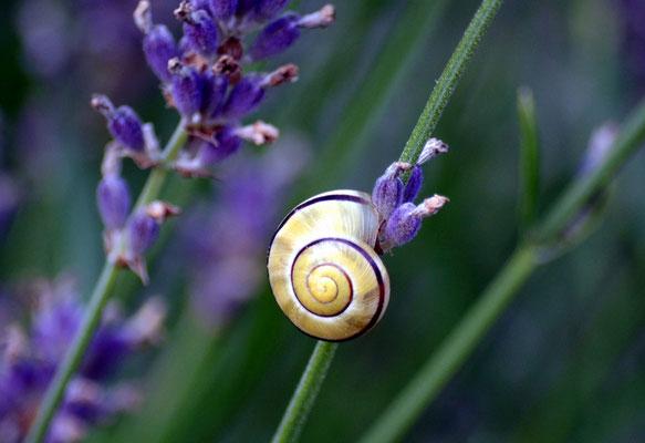11 - Lavendelschnecke