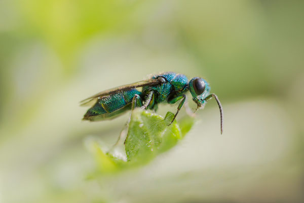 Blau-grüne Goldwespe. Ingo Heymer