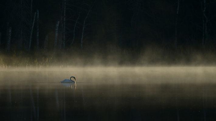 Singschwan im Moor - Hans Katzenberger
