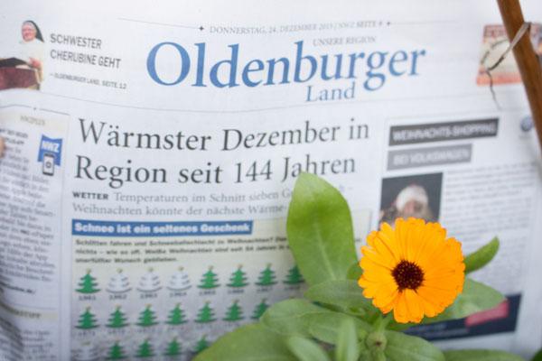 Chrsitrose - neue Züchtung. Ingo Heymer