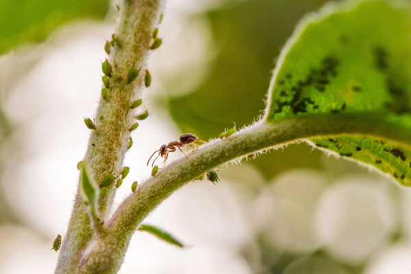 Ameise und Blattläuse - Michael Rüffer