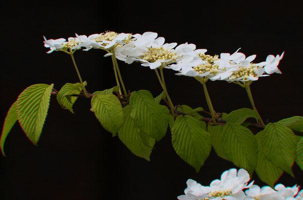 Blütenformation. Hero Gastmann