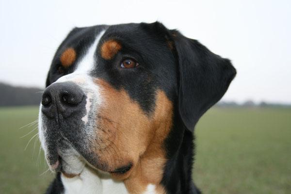 GSS Großer Schweizer Sennenhund Deckrüde Brutus vom Louisenhofer Land Grellenkammer Borghorst Dänischer Wohld Hund