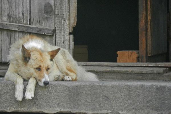 Müder Solowezki-Wachhund