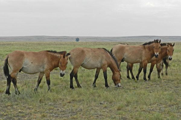 Die Przewalski-Pferde aus Ungarn und Frankreich sind nicht scheu.