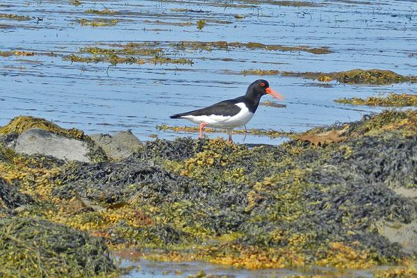 Außer Walen gibt es auch Austernfischer und andere Vögel zu beobachten