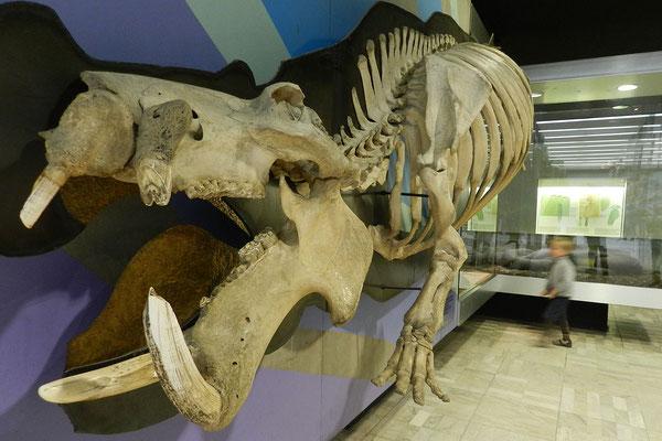 Доисторический бегемот в музее Зенкенберга.