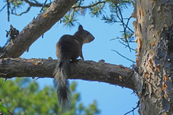Solowezki-Eichhörnchen