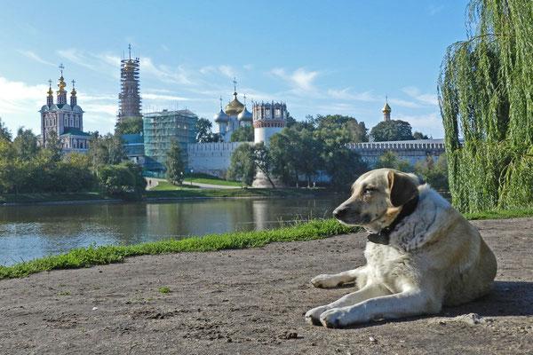 Straßenhund am Moskauer Neujungfrauen-Kloster