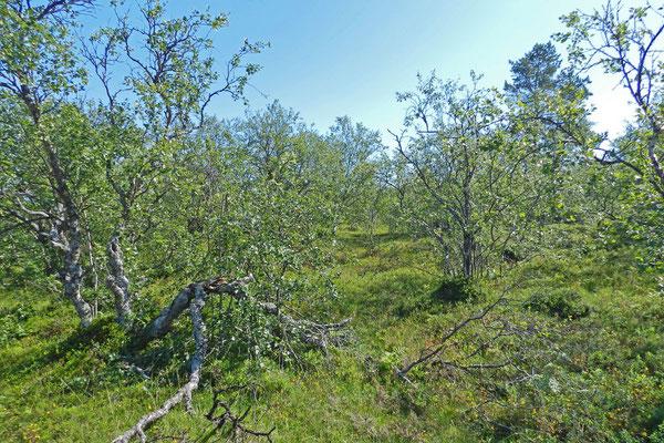 An der Südspitze der Bolschoi-Solowezki-Insel wachsen nur noch verkrüppelte Bäume.