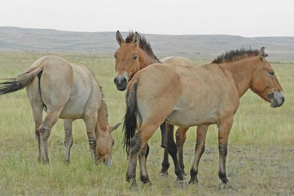 Przewalski-Pferde in der russischen Steppe