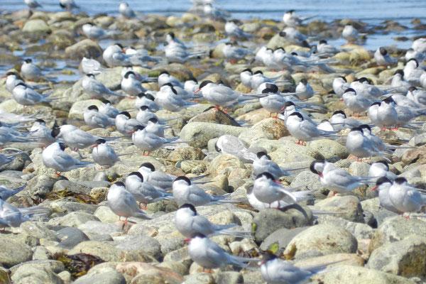 Polarseeschwalben am Weißen Meer