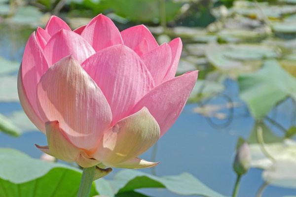 Die meisten Touristen wollen die Lotos-Blumen sehen.