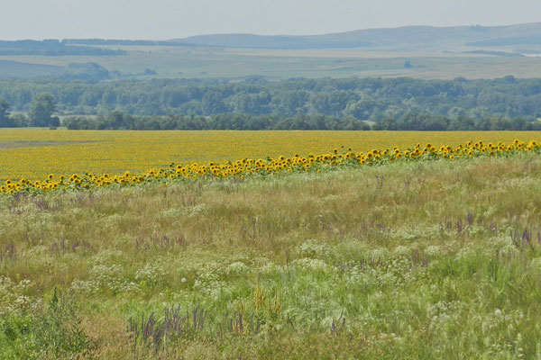 Das Orenburger Gebiet exportiert auch Sonnenblumenkerne.