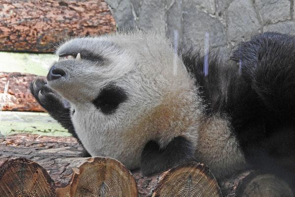 Moskaus Pandas halten ausgiebigen Mittagsschlaf.