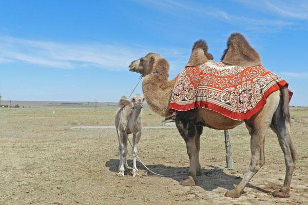Kamele spielen in der Landwirtschaft kaum noch eine Rolle.