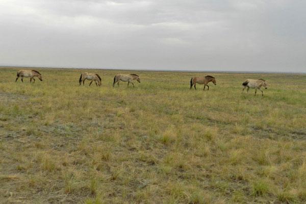 Przewalski-Pferde im Orenburger Steppenreservat