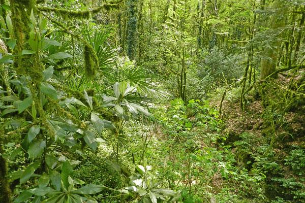 Immergrüne Vegetation im Eiben- und Buchsbaumwald.