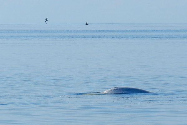 Die Wale schwimmen hier dicht am Ufer