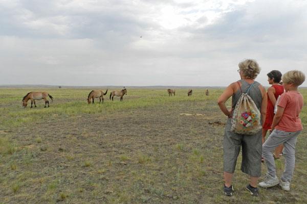 Besuchergruppen können sich den Wildpferden vorsichtig nähern