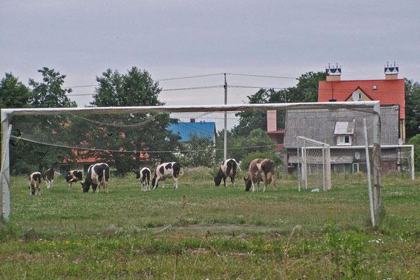 Auf diesem Fußballfeld in Rybatschi spielen nur die Kühe.