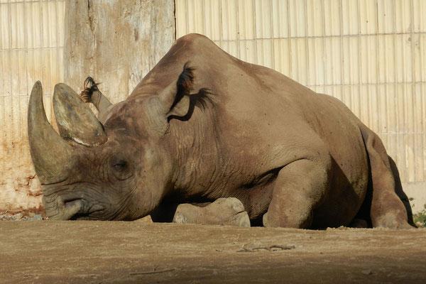 Носорог отдыхает в зоопарке Франкфурта.