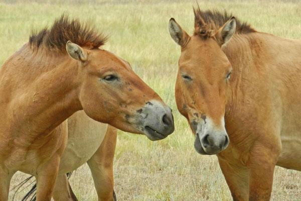 Diese Pferde werden gerade in riesigen Gehegen an ihre neue Heimat gewöhnt.