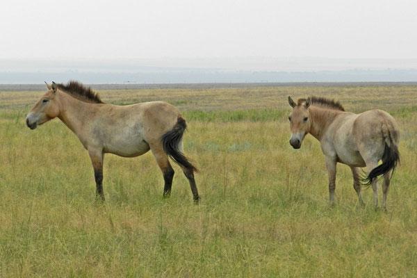 Przewalski-Wildpferdstuten im Orenburgski