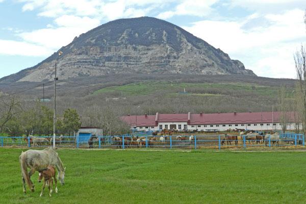 Das Araber-Gestüt Tersk am Fuß des Smejka-Berges