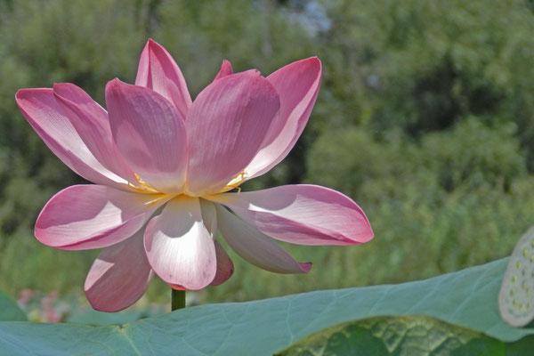 Buddhisten und Hindus gilt die Lotos-Blume als heilig.
